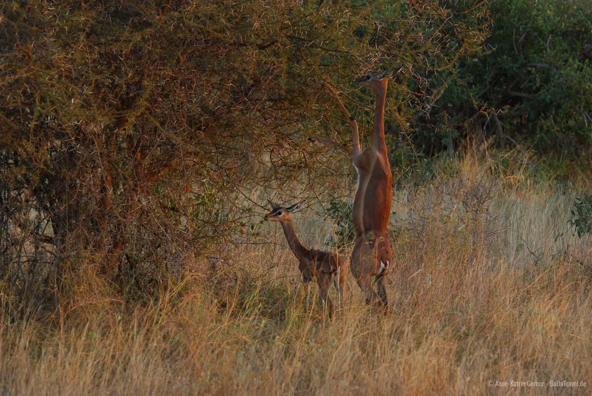 Giraffenantilope im Abendlicht im Tsavo Ost