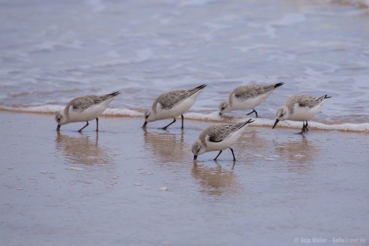Völlig unbeindruckt von den Autos sind die Vögel am Strand