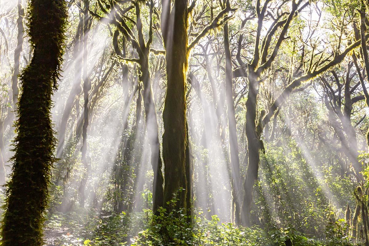 Wald im Nationalpark Garajonay auf La Gomera