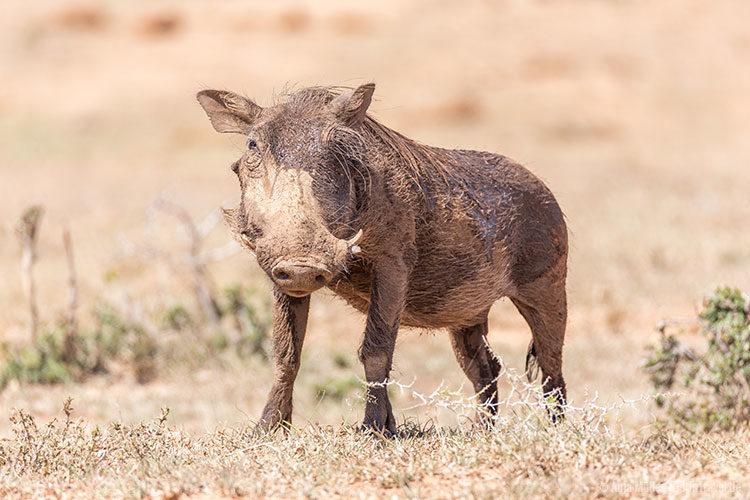 Ein Warzenschwein.