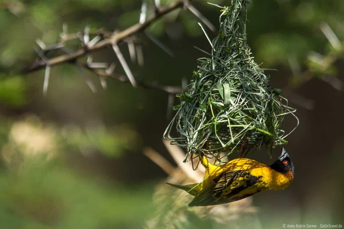 Über 500 Vogelarten sind im Nairobi Nationalpark beheimatet
