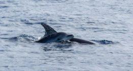 Whale Watching Teneriffa – Wale und Delfine beobachten