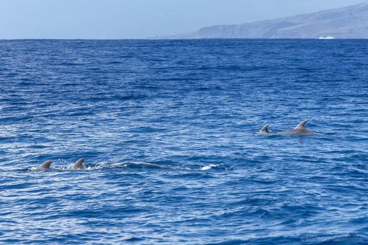 Kurzflossen-Grindelwale links und Delfine rechts im Bild