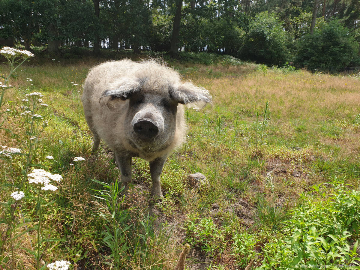 Glückliches Wollschwein im Wildpark Schorfheide