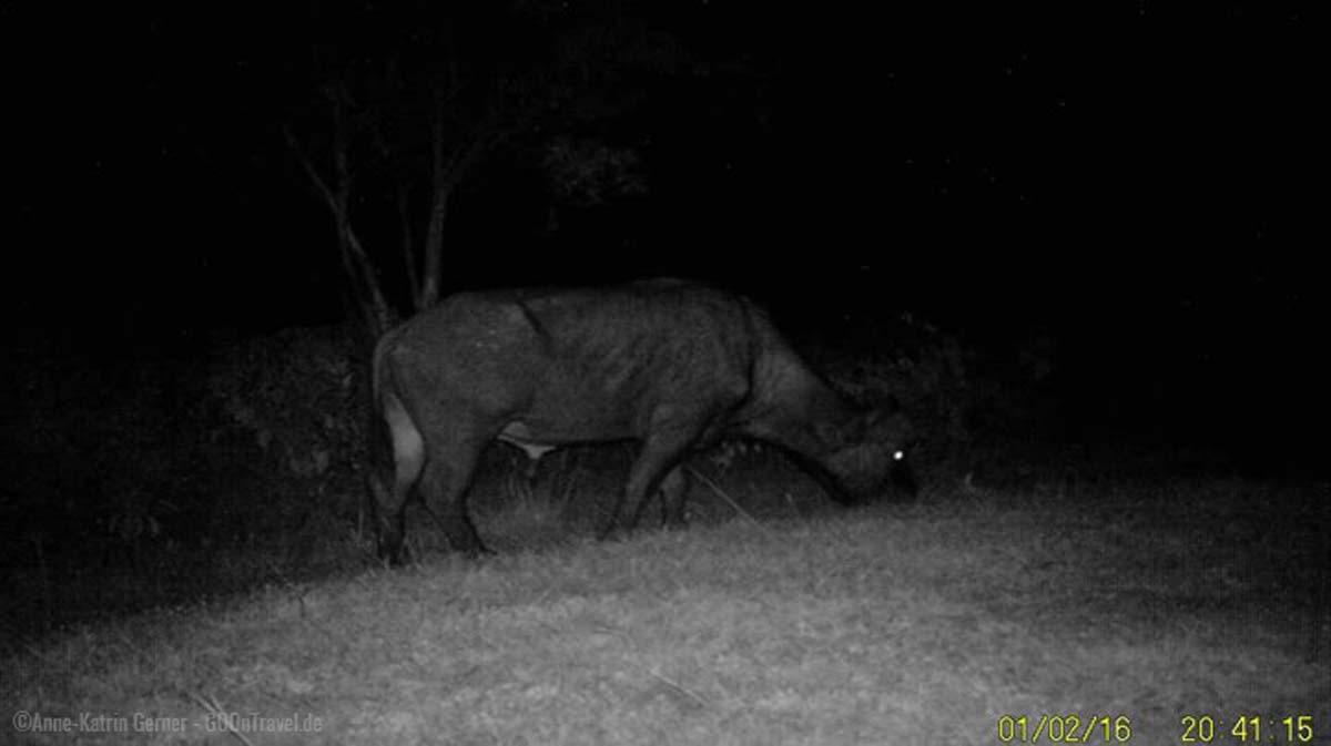 Kamerafalle nimmt Büffel vor meiner Terrasse am Ngorongoro Krater auf