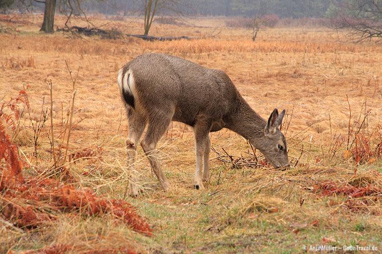 Ein grasendes Mule Deer (Maultierhirsch) im Yosemite National Park