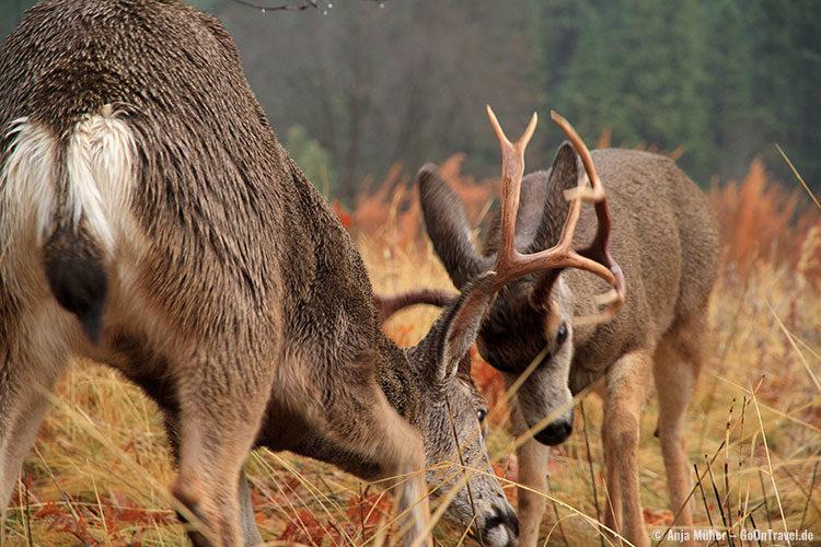 Kämpfende Mule Deers (Maultierhirsche) im Yosemite National Park