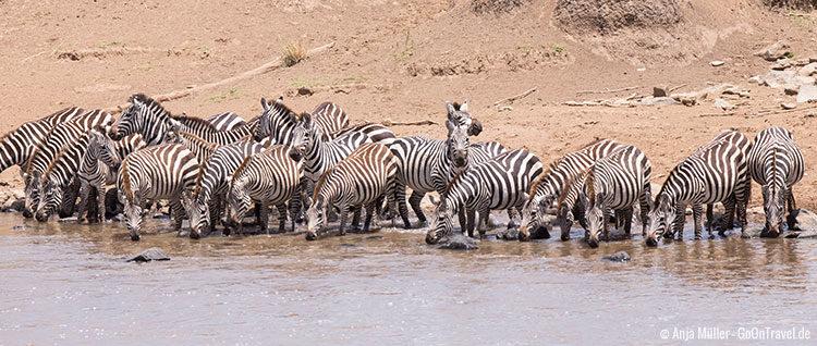 Eine Herde Zebras trinkt vorsichtig am Mara Fluss