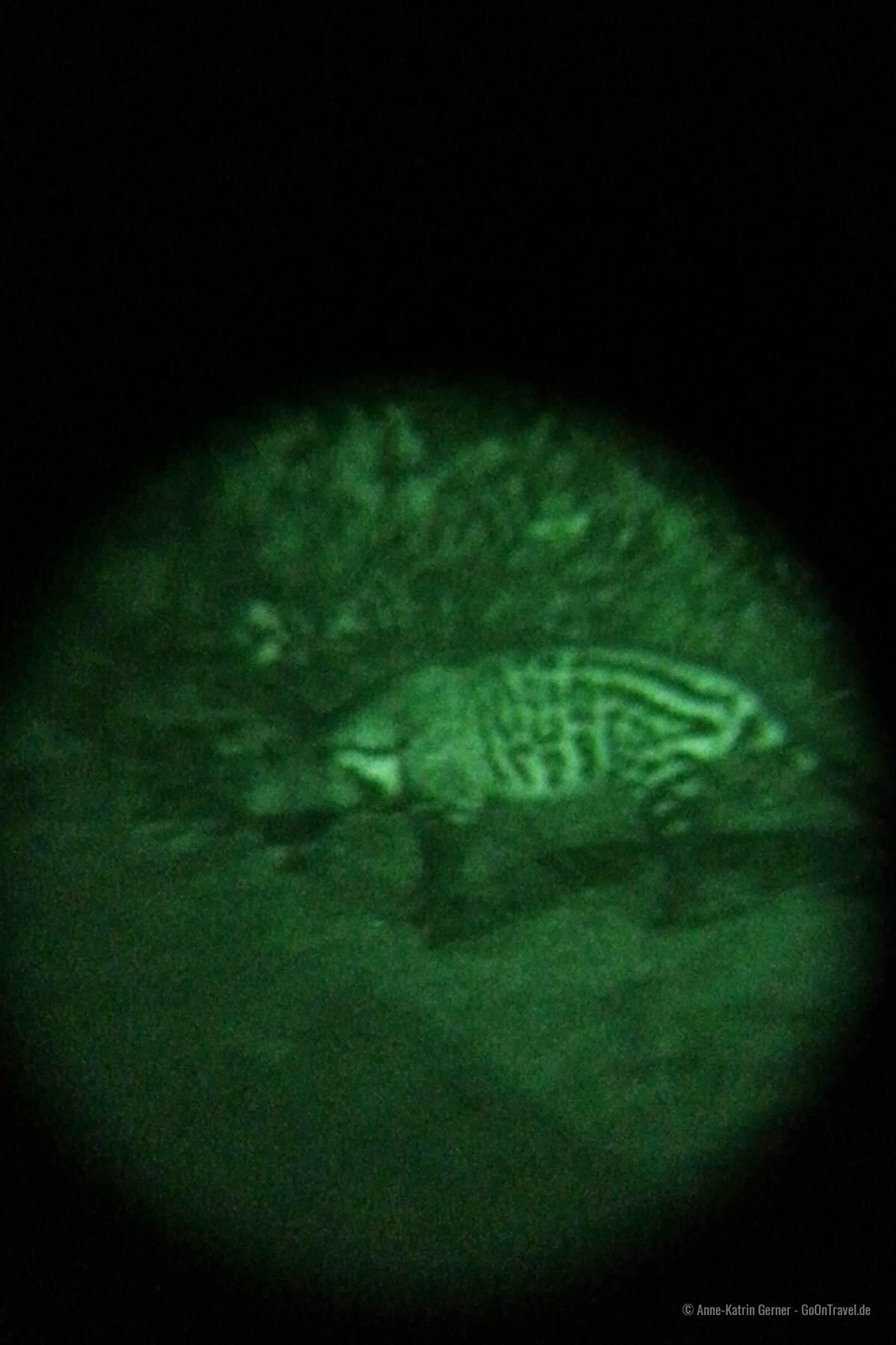 Aufnahme der Zibetkatze mit Nachtsichtgerät und Handy vor der Salt Lick Lodge