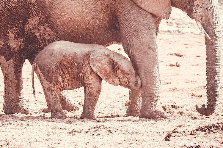 Ein kleiner Elefant im Addo Elephant Park.