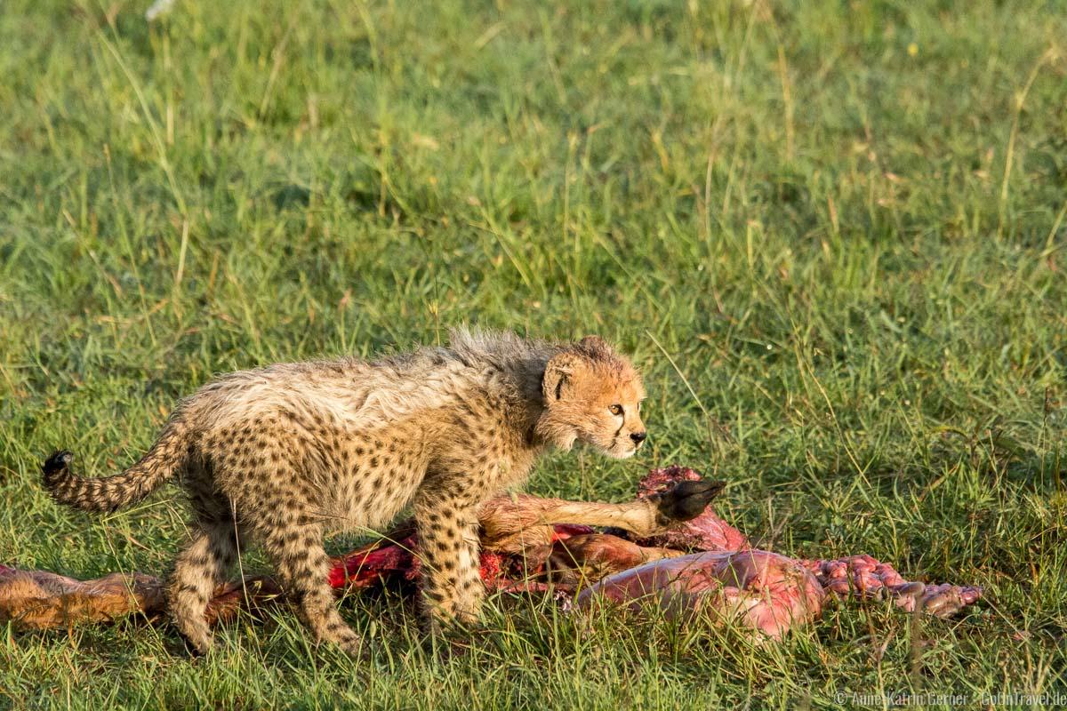 kleiner Gepard mit Beute