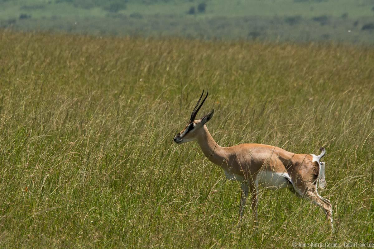 Grant Gazelle während der Geburt