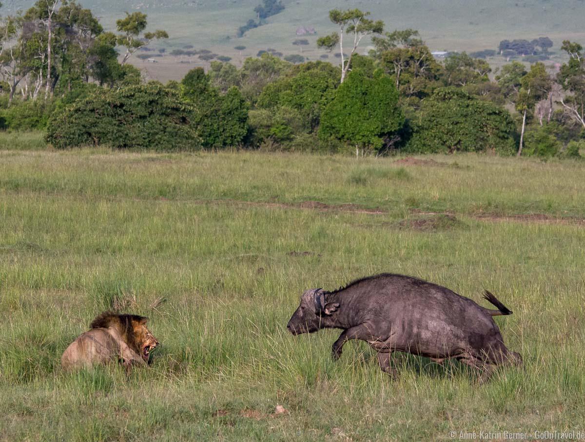 Büffel greift Löwen an