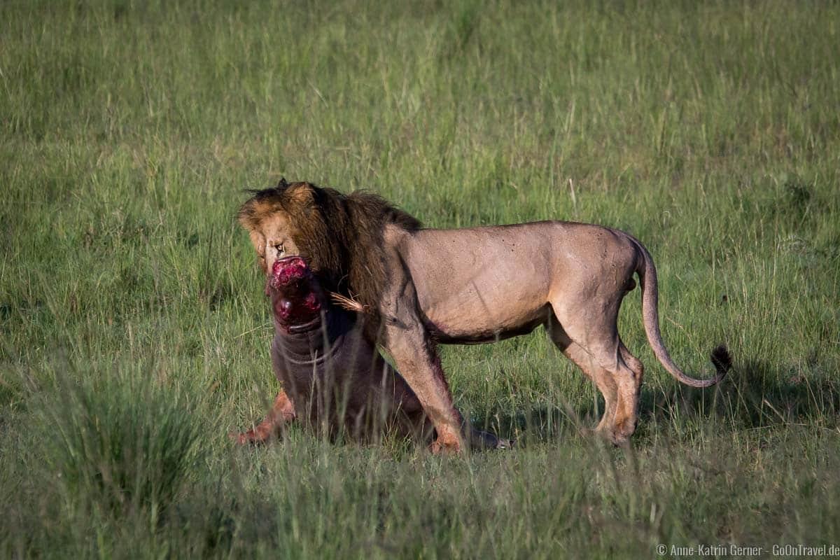 Löwenmännchen mit Beute: einem kleinen Flusspferd