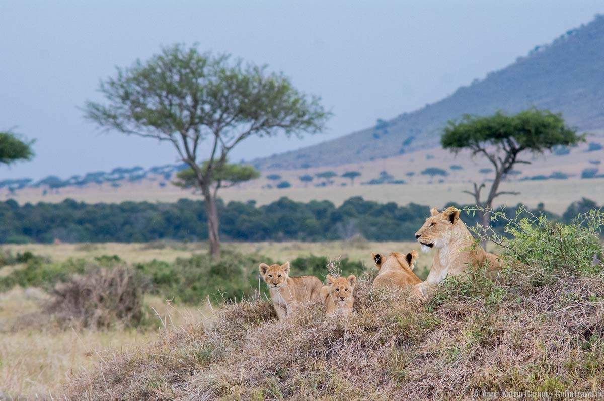 Löwenfamilie mit 210 mm fotografiert