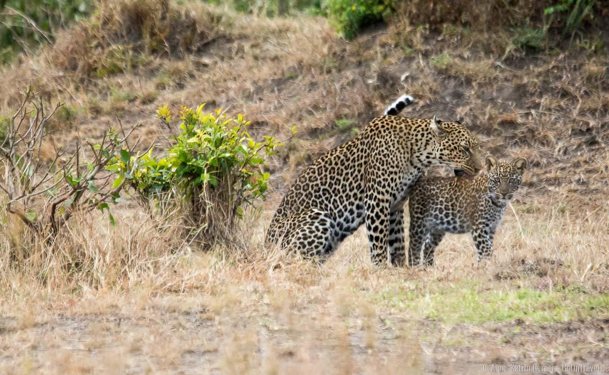 Leopardin mit Jungtier im Mara Triangle