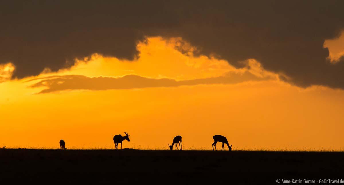 Topi Antilopen im Sonnenuntergang
