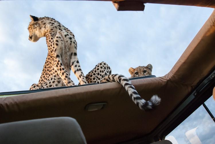 Safari ist kein Streichelzoo - Geparden auf dem offenem Dach