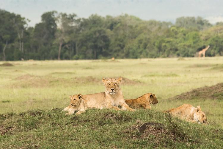 Löwenrudel in der Maasai Mara