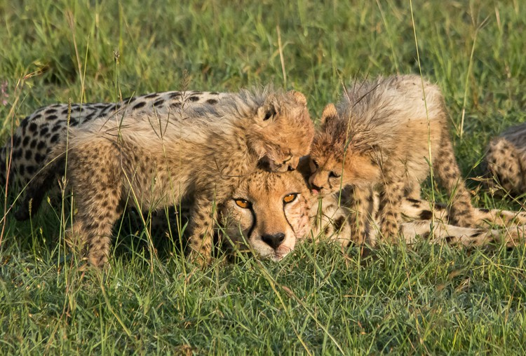 Gepardin mit Jungtieren in der Maasai Mara
