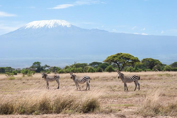 Zebras vor dem Kilimanjaro im Amboseli NP