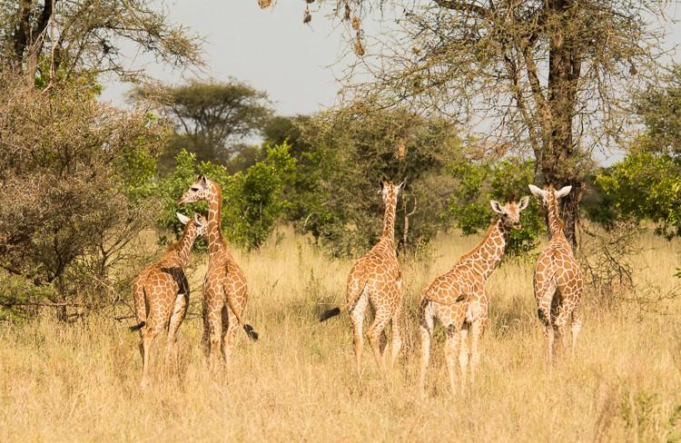 Giraffenkindergarten im Meru NP