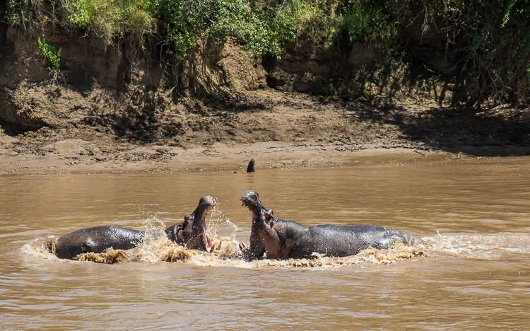 Kämpfende Flußpferde im Mara River