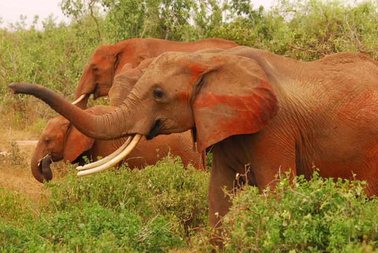 Die berühmten roten Elefanten von Tsavo Ost