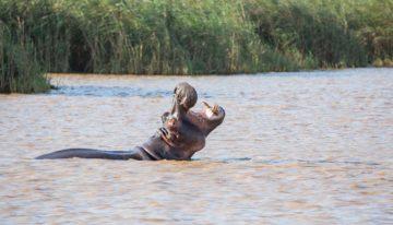 Isimangaliso Wetland Park: Hippo Tour, Turtle Tour und Safari