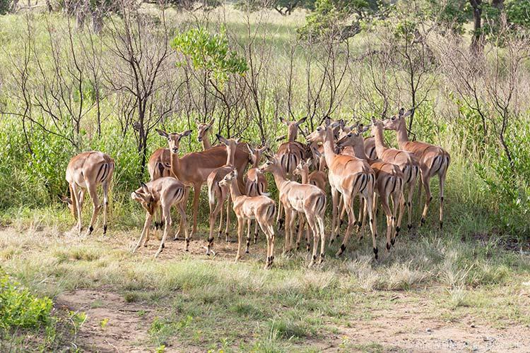 Eine Gruppe Impalas