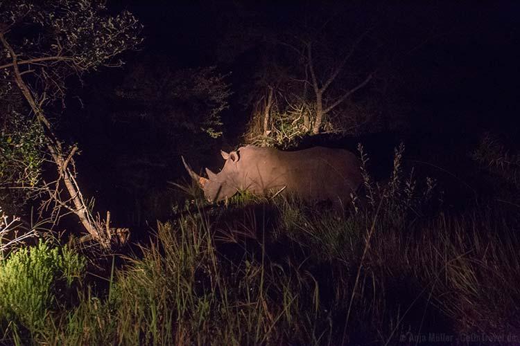 Auf Nachtsafari: Ein Nashorn