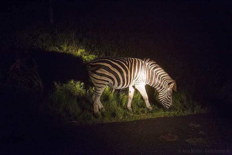 Ein Zebra grast am Wegesrand