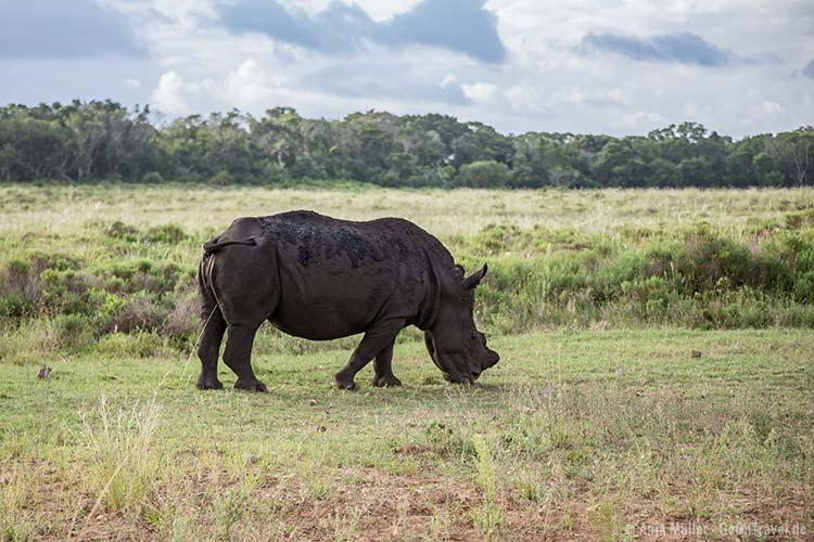 White Rhino beim Grasen