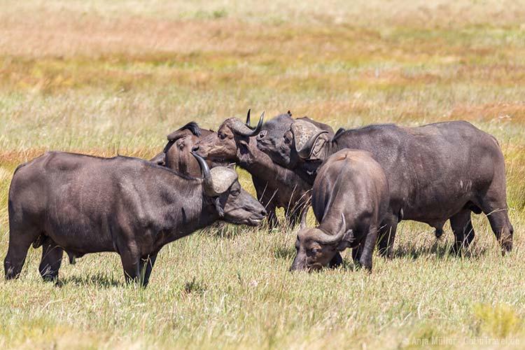 Büffel (Buffelo)