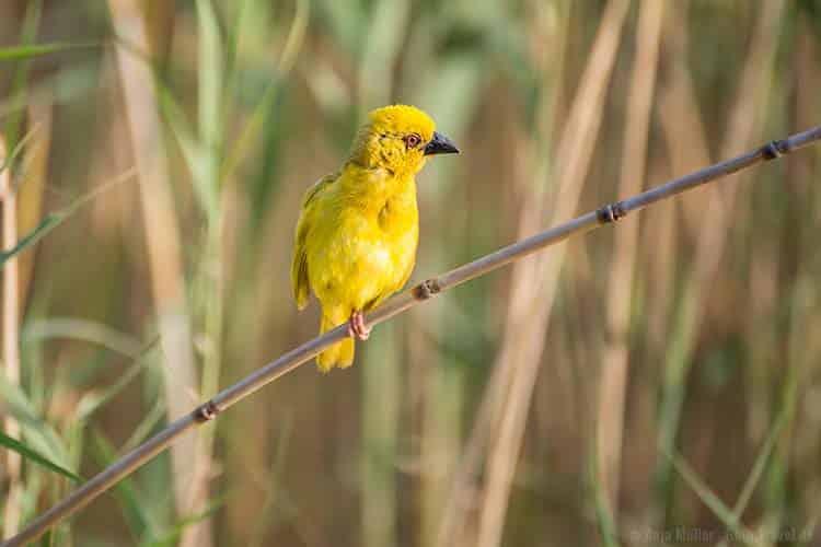 Ein Webervogel