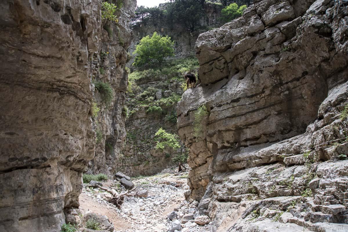 Ziege in der Imbros-Schlucht auf Kreta